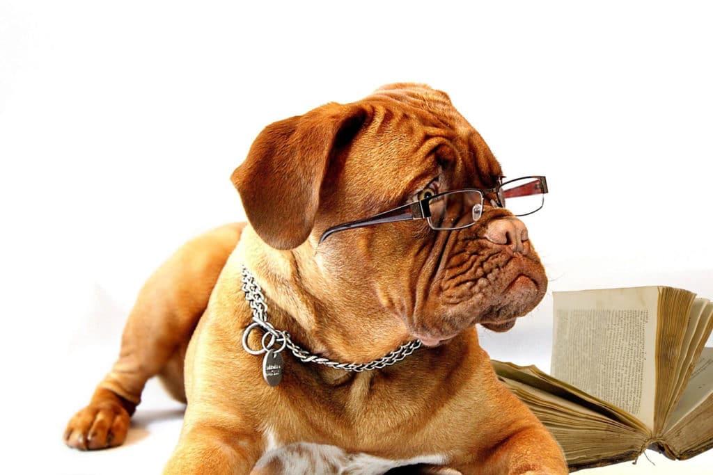 Eine Bulldogge mit Brille auf der Nase wird dargestellt.
